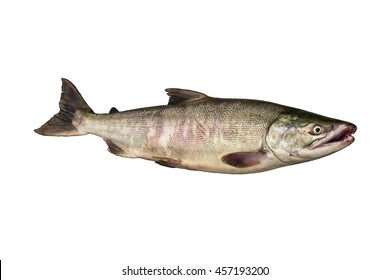 Russia, Kamchatka,The chum salmon (Oncorhynchus keta) is a species of anadromous fish in the salmon family. It is a Pacific salmon.