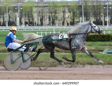 Russia, Moscow - 1 May 2017. The beautiful gray horse Orlov trotter breed in motion on green background
