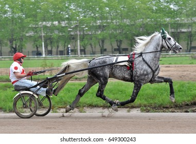 Russia, Moscow - 1 May 2017. The gray horse Orlov trotter breed in motion on green background