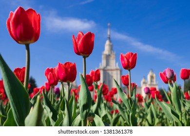 Russia, Moscow - Red tulips in front of the main building of Moscow State University. Mv Lomonosov on Sparrow Hills