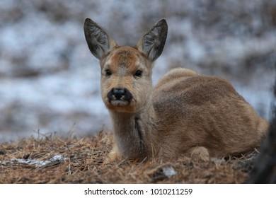 Russia, Novosibirsk zoo. Siberian ROE deer. Autumn 2017