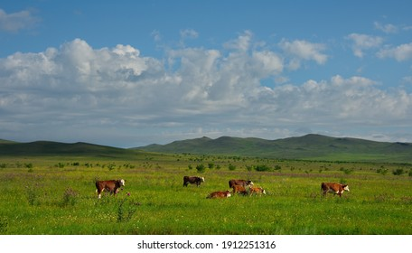 Russia. Republic of Khakassia. A herd of purebred cows graze in the endless steppe.