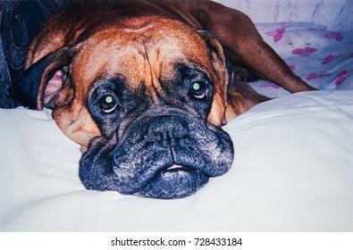 RUSSIA, SAINT-PETERSBURG - CIRCA 2000: Vintage photo of boxer dog portrait