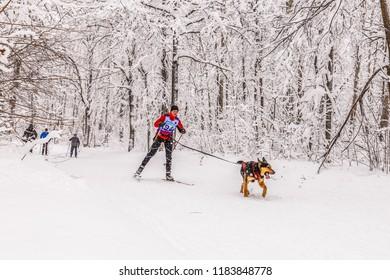 Russia, Samara, January 2017: Skijoring with a dog. Samara. Christmas Race.