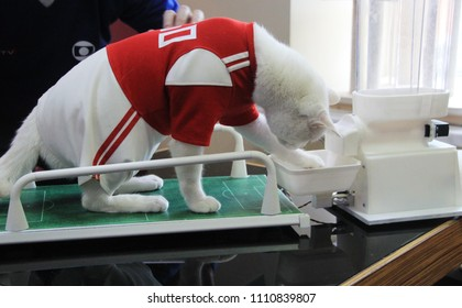 Russia, St. Petersburg. Achilles the cat from Hermitage Museum, which will predict results of the World Cup 2018 football games is getting ready for its mission, receiving a special diet