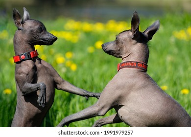 Russia. Vyborg. 05.05.2021 Two Mexican naked dogs play outdoors in summer. High quality photo