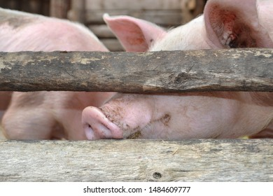 RUSSIA-2017: Russian village farmstead, pig stuck his face through the fence poles