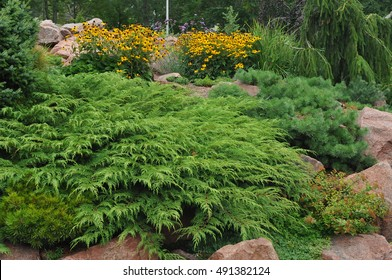 Russian arborvitae or Siberian cypress growing in a large rock garden