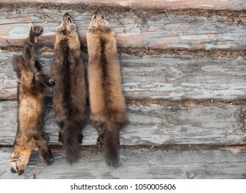 Russian Barguzin sable and two sable fur skins (pelts) with expensive soft brown fur hanging on a trapper cabin wall i