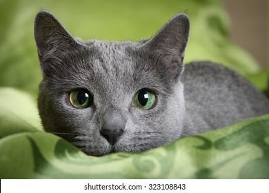 5.729 hình ảnh về Mèo Nga mắt xanh độc lạ, được chụp bởi các nhiếp ảnh gia nổi tiếng nhất