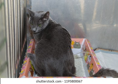 Russian Blue cat with Feline lower urinary tract disease  and renal insufficiency. Cat with dysuria. Abnormal urinary position.The influence of positioning in urination