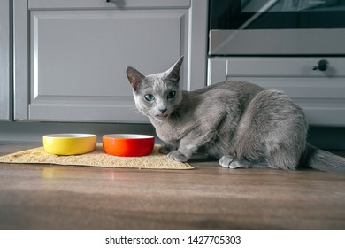Russian blue cat with funny expressive emotional muzzle eating cat food on kitechen at home. Portrait of lovely breeding kitten having dinner at home. Cute hungry pussycat eating on floor
