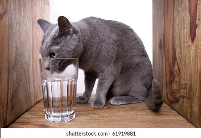 Russian Blue cat with glass of water