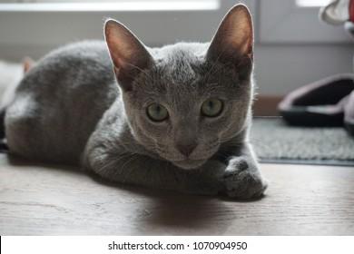 Russian Blue Cat / Kitten lying on the floor