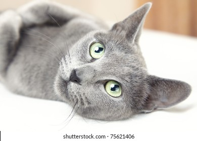 Russian blue cat laying indoors and looking up