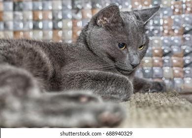 Russian blue cat lie on the carpet.