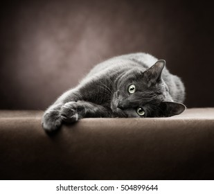Russian blue Cat lying on a brown background and looking at the camera