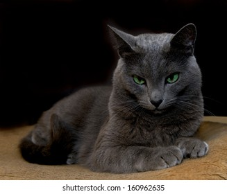 Russian Blue Cat on a chair in blur brown dirty background, resting cat face close up, lazy cat on day time, animals, domestic cat, relaxing cat, cat resting, Russian Blue cat in brown background