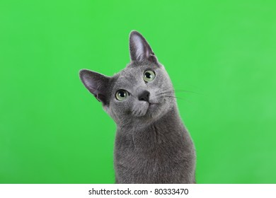 Russian Blue Cat on green background