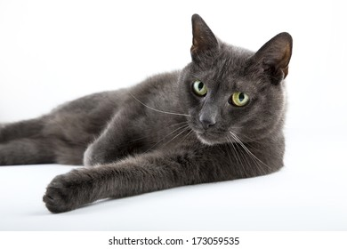 Russian blue cat on isolated white background