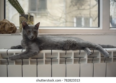 Russian blue cat on the radiator under the window