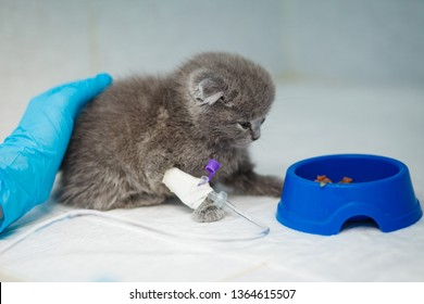 Russian Blue cat, receiving blood transfusion. Adult cat with bandaged leg, at the veterinary hospital