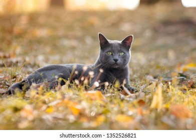 Russian blue cat relaxing on grass outdoors