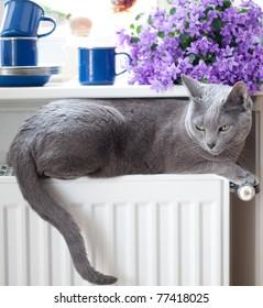 Russian Blue Cat relaxing on radiator under window