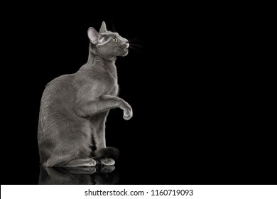 Russian blue Cat Sitting, raising up paw and lick on Isolated Black Background, at side view