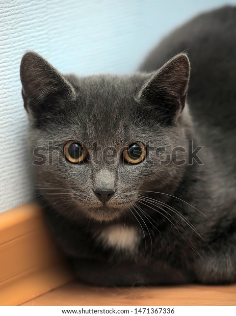 Russian Blue Cat White Spot On Stock Photo Edit Now 1471367336