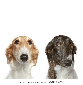 Russian Borzoi puppies (5 months). Portrait with copy space on a white background