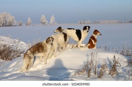 russian borzoi winter