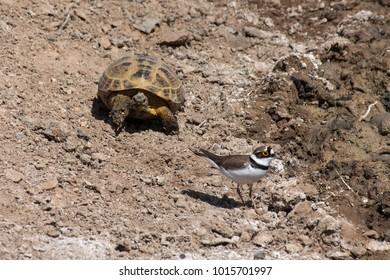 Russian or Central Asian tortoise (Testudo horsfieldii) following a Little ringed plover (Charadrius dubius) in Kyzyl Kum desert, Uzbekistan