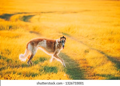 Russian Dog, Borzoi Running In Summer Sunset Sunrise Meadow Or Field. Rural Road