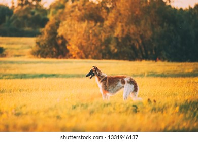 Russian Dog, Borzoi In Summer Meadow Or Field At Sunset Sunrise