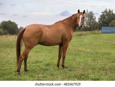 Russian Don horse in the summer pasture
