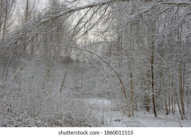 The Russian landscape - birches were bent after snowfall