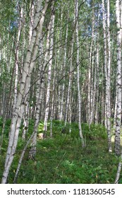 Russian landscape. Summer Birch forest