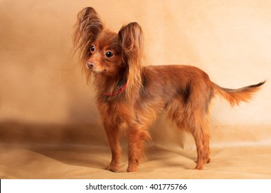 Russian long haired Toy Terrier  (A long haired Russkiy Toy)