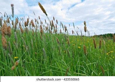 Russian meadow with  Timothy-grass.Arkhangelsk region. Russian North.