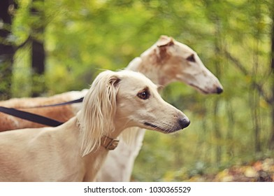 Russian and Persian greyhounds in autumn park