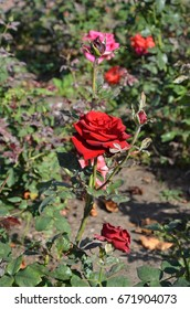 Russian rose in Park