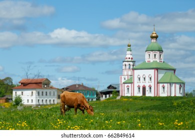 Russian rural landscape. Brown cow grazing in green meadow in Suzdal.