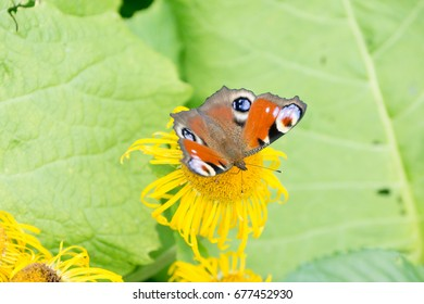 Russian spot orange white and black butterfly on yellow flower
