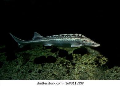 The Russian sturgeon, diamond sturgeon or Danube sturgeon (Acipenser gueldenstaedtii).