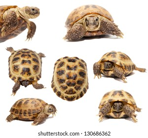 Russian Tortoise or Central Asian tortoise (Agrionemys horsfieldii) isolated on white background.
