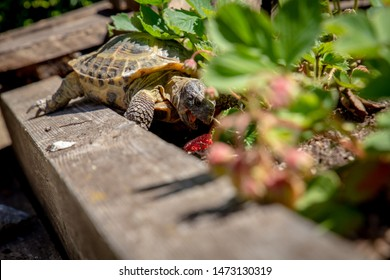 Russian tortoise eating strawberry in garden