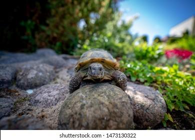 Russian tortoise exploring garden in garden