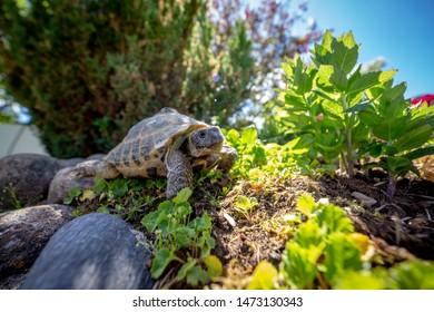 Russian tortoise exploring in garden