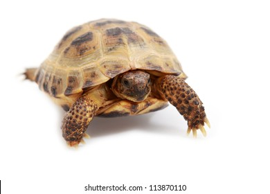 Russian tortoise, Horsfield's tortoise or Central Asian tortoise Agrionemys horsfieldii on white